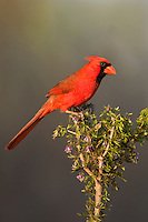 511650097 a wild male northern cardinal cardinalis cardinalis on santa clara ranch hidalgo county rio grande valley texas united states