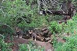 Gray Wolf, Canis lupus, Tok Junction, Alaska, USA