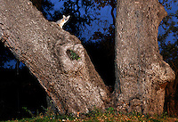 Gray Fox (Urocyon cinereoargenteus), adult at dusk in Live Oak tree (Quercus virginiana), Dinero, Lake Corpus Christi, South Texas, USA
