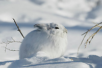 Snowshoe hare in winter white pelage, snow covered tundra, Brooks range, Arctic, Alaska.