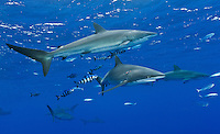 RM0770-D. Silky Sharks (Carcharhinus falciformis), and Pilotfish (Naucrates ductor). Pilotfish are commensal symbionts, living in association with sharks and other pelagic animals. Baja, Mexico, Pacific Ocean. <br /> Photo Copyright &copy; Brandon Cole. All rights reserved worldwide.  www.brandoncole.com