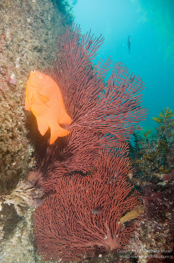 Catalina Island, Channel Islands, California; an orange Garibaldi (Hypsypops rubicundus) fish swims in front of two large Brown Gorgonians (Muricea fruticosa) growing into an opening in the rocky reef