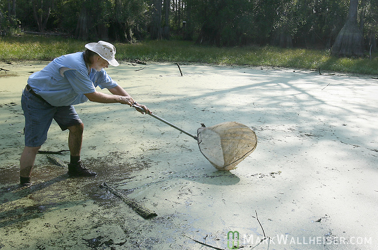 Ecologist Bruce Means dips a net for newts, salamanders and frogs in one of the ponds he has managed to find some water remaining in the Apalachicola National Forest south of Tallahassee, Florida September 28, 2007.    (Mark Wallheiser/TallahasseeStock.com)