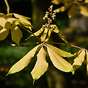 Young pink-yellow leaves of sunrise horse chestnut (Aesculus x neglecta 'Erythroblastos'), mid April.