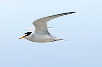 Endangered California Least Tern (Sternula antillarum brownii) flying . Tijuana River Estuarine Reserve, CA. This migratory bird is a U.S. federally listed endangered subspecies. The total population of the subspecies amounted to 582 breeding pairs in the year 1974, when census work on this bird began. While numbers have gradually increased with its protected status, the species is still vulnerable to natural disasters or further disturbance of man (wiki 2009)