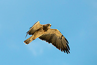 542400023 a wild swainsons hawk buteo swainsoni in fligt near bishop inyo county california