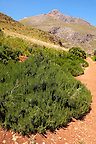 Rosemary bush at the Riserva Naturale dello Zingaro [ Zingaro nature reserve ] Scopello, Castellammare Del Golfo , Sicily.