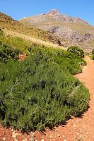 Rosemary bush at the Riserva Naturale dello Zingaro [ Zingaro nature reserve ] Scopello, Castellammare Del Golfo , Sicily.