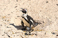 Boulders Beach near Cape Town in South Africa has a colony of African Penguins which settled there in 1982. Nesting.