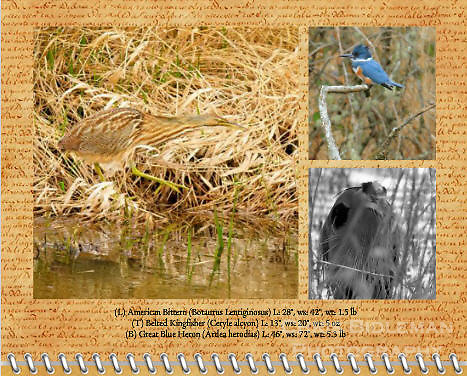 """August of the 2012 Birds of a Feather Calendar.  These three photos are called """"American Bittern walking through grass"""", """"Belted Kingfisher on a branch"""", and """"Heron - Do You See Me?"""" which is a Great Blue Heron (Ardea herodias) lurking behind the tall grass on the banks of a lake at the Ridgefield National Wildlife Refuge in a black and white (B&W) photo format"""