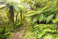 Copland track through native, lush green rainforest in Copland Valley, Westland National Park, West Coast, South Westland, World Heritage Area, New Zealand