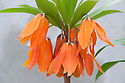 Fritillaria eduardii,  a hybrid of the Crown Imperial Fritillaria imperialis, glasshouse, early March.