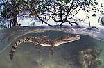 Saltwater crocodile between mangrove roots, split level.Crocodylus porosus