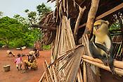 Mona monkey, Cercopithecus mona, in Boabeng-Fiema village, Ghana