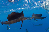 TK0036-D. Atlantic Sailfish (Istiophorus albicans) feeding on Spanish sardines (Sardinella aurita). The fastest fish in the sea, the sailfish is also very maneuverable and, working together with others, herds the baitfish toward the surface. Then the sails take turns racing into the baitball, using their sharp bills like swords to slash at the sardines, knocking one out of the school and stunning it. Then the sailfish swallows the sardine whole. Gulf of Mexico, Mexico, Caribbean Sea.<br /> Photo Copyright &copy; Brandon Cole. All rights reserved worldwide.  www.brandoncole.com