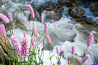 Tiroler Oberland, Tyrol, Austria, June 2009. Colourful flowers line a white water mountain creek running through the alpine pasture. The Region of the Tyrolian Highlands offer many different options for outdoor adventures, leisure and relaxing. Photo by Frits Meyst/Adventure4ever.com