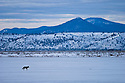 Coyote walking across snow-covered field; Lower Klamath National Wildlife Refuge, California.