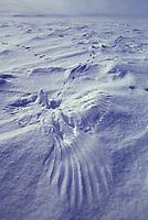 Ptarmigan tracks and wing prints in snow, Arctic coastal plains, Alaska