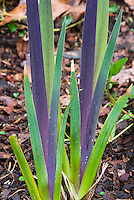 Iris virginica Southern Blue flag with purple and green new growth foliage young in spring