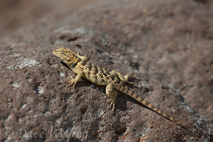 442800004 a wild yellow-backed spiny lizard sceloparus uniformis perches on a rock along chalk cliffs road bishop california united states