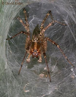 0925-06xx  Grass Spider - Funnel web spider - Agelenopsis spp. - © David Kuhn/Dwight Kuhn Photography