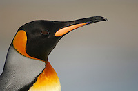 King Penguin head (Aptenodytes patagonicus).