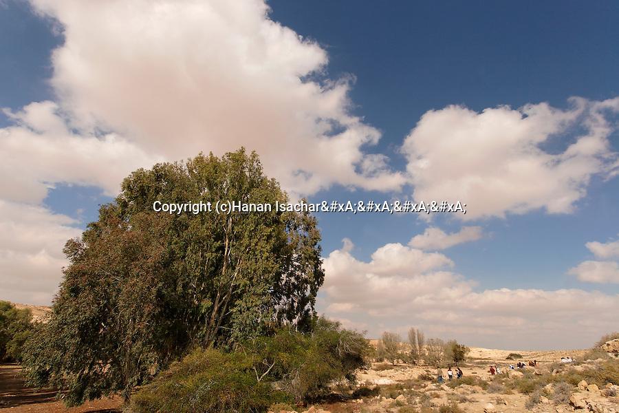 Israel, the Negev Desert. Eucalyptus tree in Be'erotaim