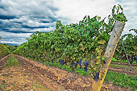 Looking down a row of mature grapes on the vine in a Niagara-on-the-Lake vineyard.