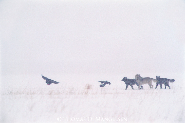 Constant pranksters, ravens seem to delight in taunting wolves near their kills on the National Elk Refuge in Jackson Hole, Wyoming.