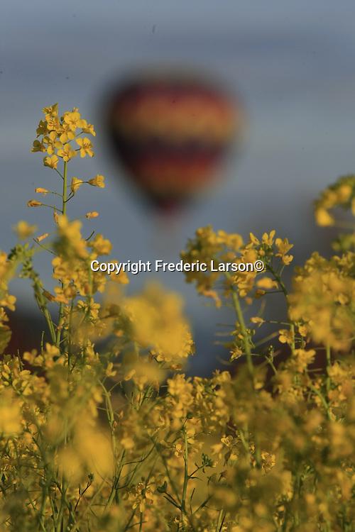 Hot air balloons sail over Napa Valley mustard fields.