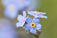 Alpine forget-me-not, Alaska's state flower, Denali National Park, Alaska