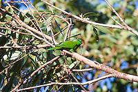 Scaly Breasted Lorikeet,  Tomaree NP, Australia