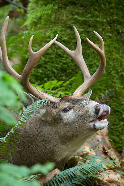 Coastal Black-tailed Deer buck (Odocoileus hemionus) sniffing--flehmen display or lip curling-- during fall rut.  Pacific Northwest.  Fall.