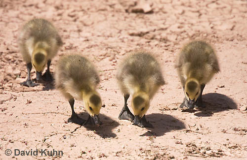 0224-1203  Canadian Gosling Foraging for Food (Canada Goose, Canadian Goose), Branta canadensis  © David Kuhn/Dwight Kuhn Photography