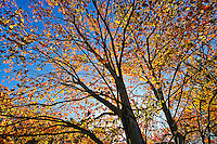 Autumn tree and foliage, Connecticut, CT, USA