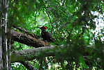 Pileated woodpecker in coast redwood tree