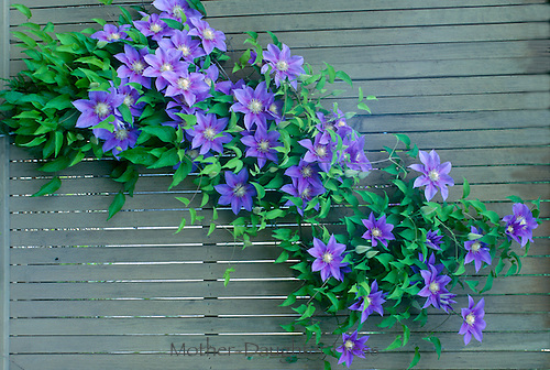 """The great escape: Purple Clematis flowers, Clematis terniflora, aka """"Barbara Jackman"""" clematis, grow through the garden fence for surprising bright color"""