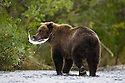 Alaska, Katmai Peninsula; Brown bear (Ursus arctos) holding freshly caught salmon in mouth