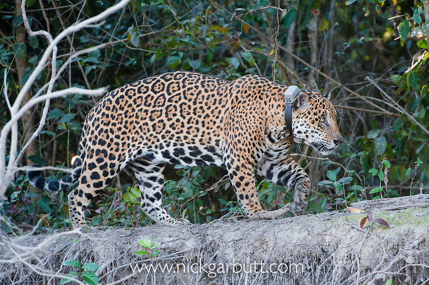 Male Jaguar (Panthera onca palustris)(13 years old) walking along the bank of the Cuiaba River. Near Porto Jofre, northern Pantanal, Mato Grosso State, Brazil.