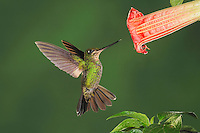 Buff-Winged Starfrontlet (Coeligena lutetiae), young female feeding from Datura flower,Papallacta, Ecuador, Andes, South America