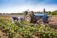Farm workers harvesting organic beets on Pfennings Organic Farm in Ontario, Canada.