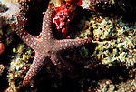 Milne Bay, Papua New Guinea; Sea Star (Fromia monilis) Ophidiasteridae family, legs to 12 cm (4 ¾ in.) , Copyright © Matthew Meier, matthewmeierphoto.com All Rights Reserved