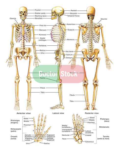 anatomy of the skeletal system doctor stock : full skeleton diagram - findchart.co