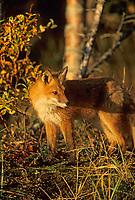 Red fox, Katmai National Park, Alaska