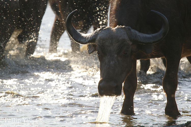 An African buffalo (Syncerus caffer) drinks from a watering hole at Hwange National Park, Zimbabwe.
