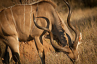The Kudu is the emblem for South Africa's national parks. Its large spiraling horns help it to fend off predators, but they are mostly known for their incredible jumping abilities which poses a real hazard in rural areas when travelling at night.