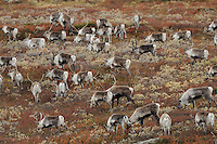 forollhogna national park , norway, september,wild reindeer (Rangifer tarandus)
