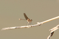 338400023 a wild female blue-ringed dancer damselfly argia sedula perches on a dried grass stem over a stream at santa ana national wildlife refuge in the rio grande valley of south texas united states