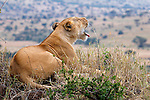 Africa, Kenya, Masai Mara. Lioness watches over the plains in the Mara.