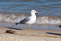 Ring-Billed Gull, San Felipe, Baja, Mexico